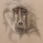 baboon pastel drawing