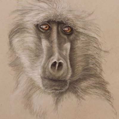 Baboon portrait, pastel drawing on Strathmore Artist paper by Wendy Beresford